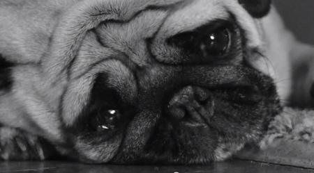 sad-dog-diary-pug