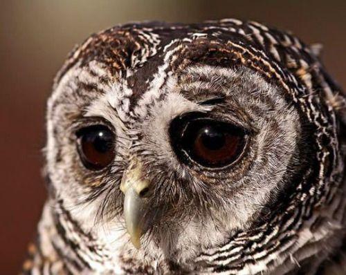 7516cute-sad-owl-portrait-big-eyes